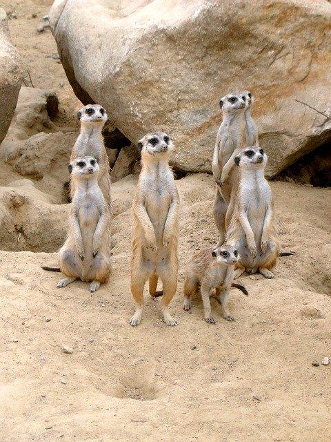 meerket family in a zoo